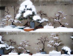 ბონსაი ზამთარში